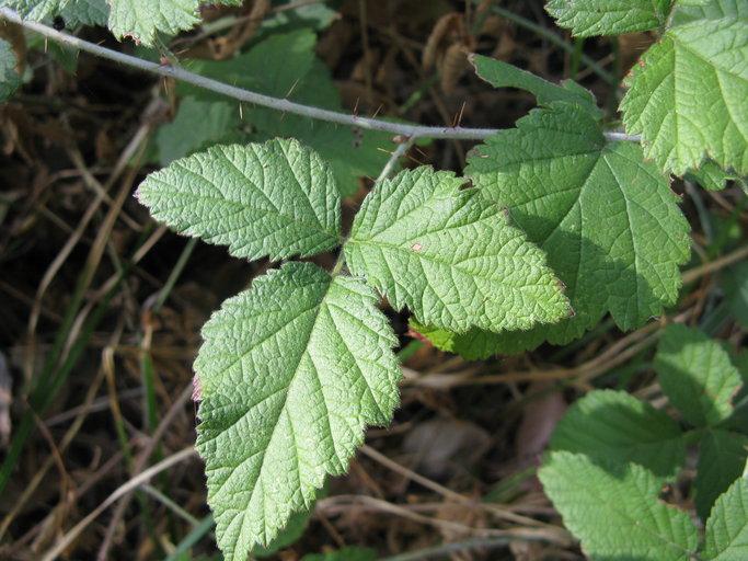 Rubus leucodermis var. bernardinus