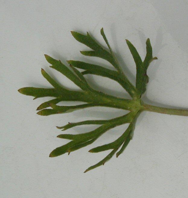 Delphinium hesperium