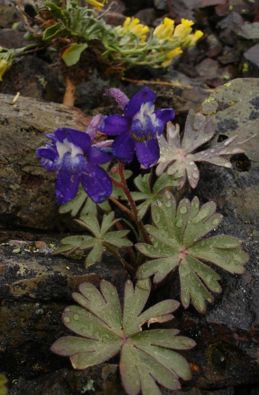 Delphinium antoninum