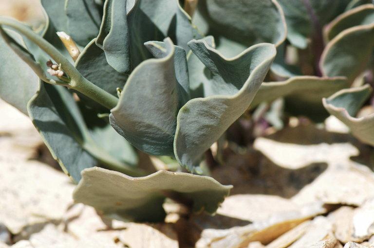 Caulanthus glaucus