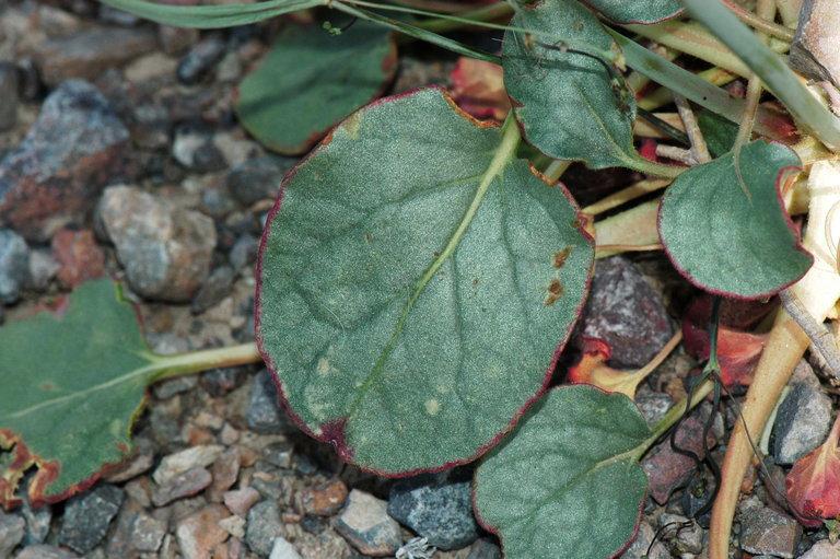 Eriogonum inflatum