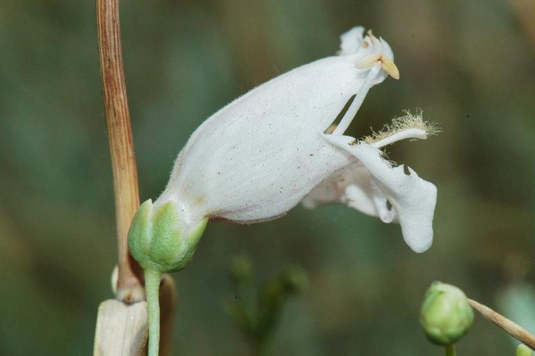 Penstemon fruticiformis var. amargosae