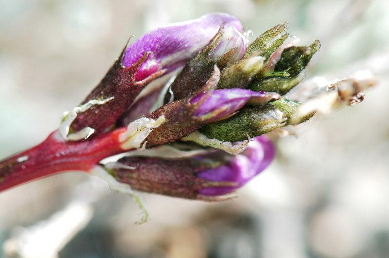Astragalus cimae var. sufflatus