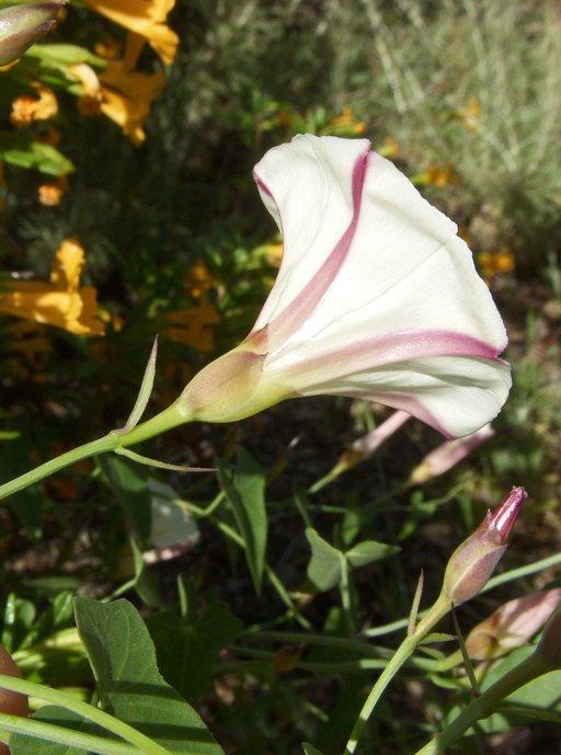 Calystegia purpurata ssp. purpurata