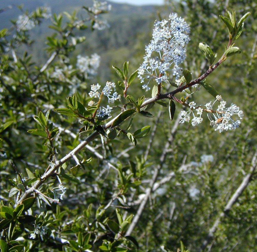 Ceanothus divaricatus image