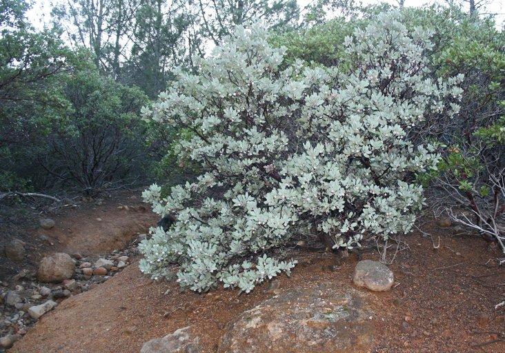 Arctostaphylos canescens ssp. canescens
