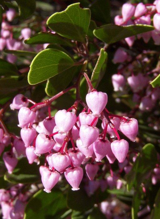 Arctostaphylos stanfordiana ssp. stanfordiana