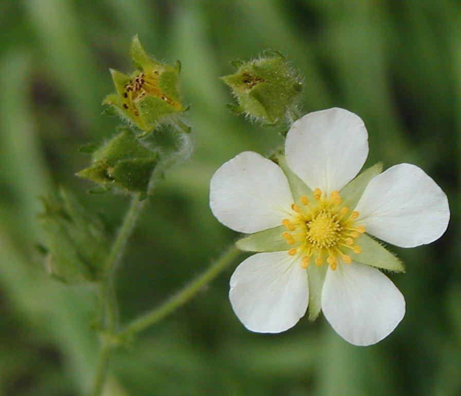 Potentilla glandulosa ssp. hansenii