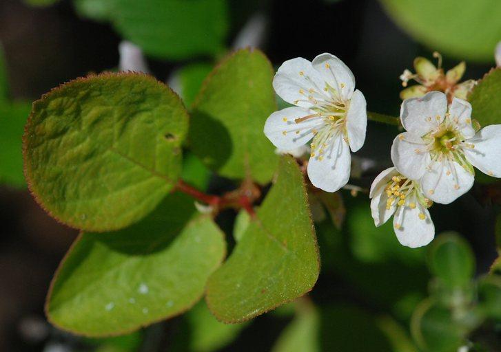 Prunus subcordata var. rubicunda