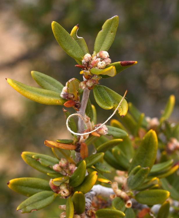Cercocarpus ledifolius