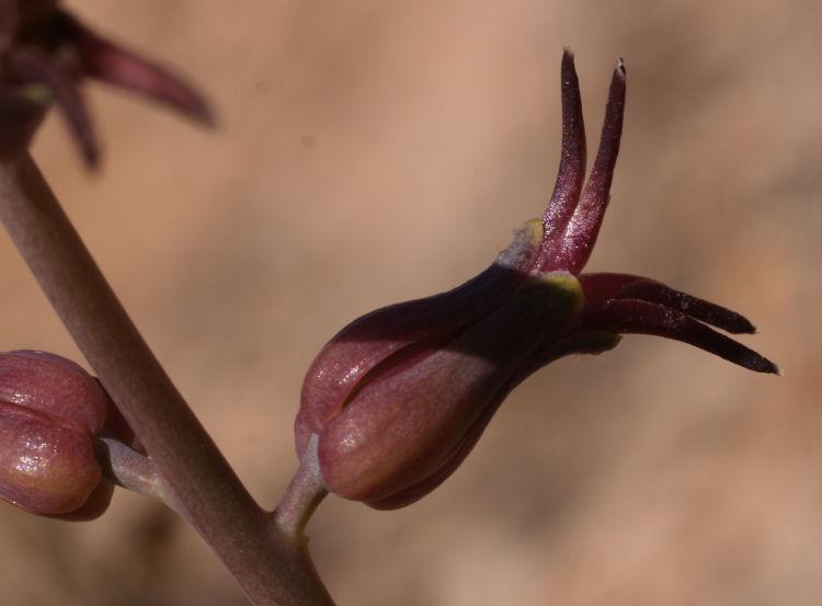 Streptanthus cordatus