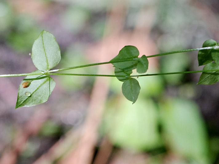 Stellaria crispa