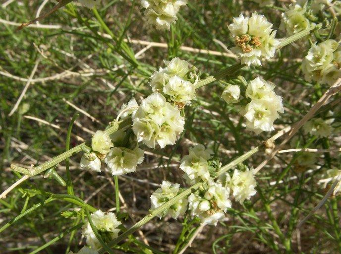 Hymenoclea salsola