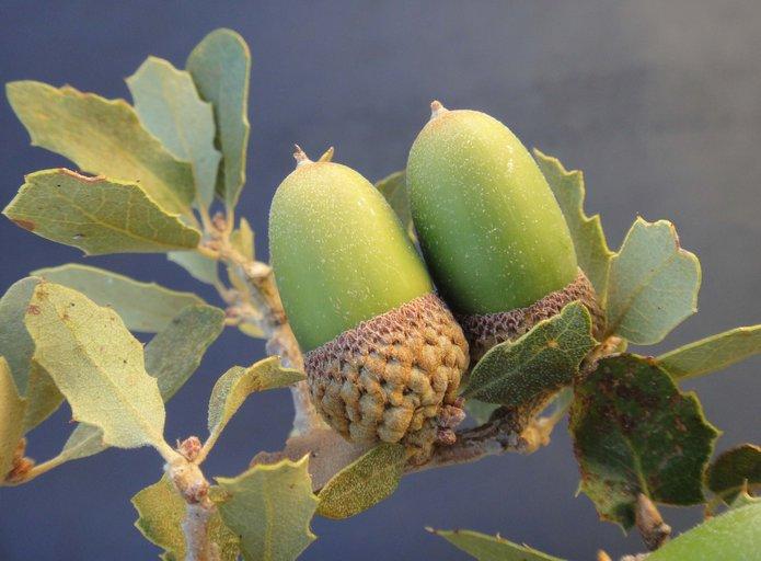 Quercus Xalvordiana