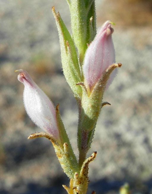 Cordylanthus tecopensis