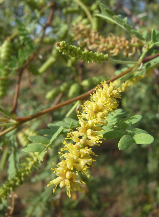 Prosopis pubescens