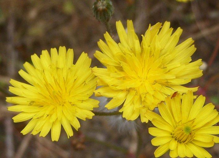 Crepis vesicaria ssp. taraxacifolia