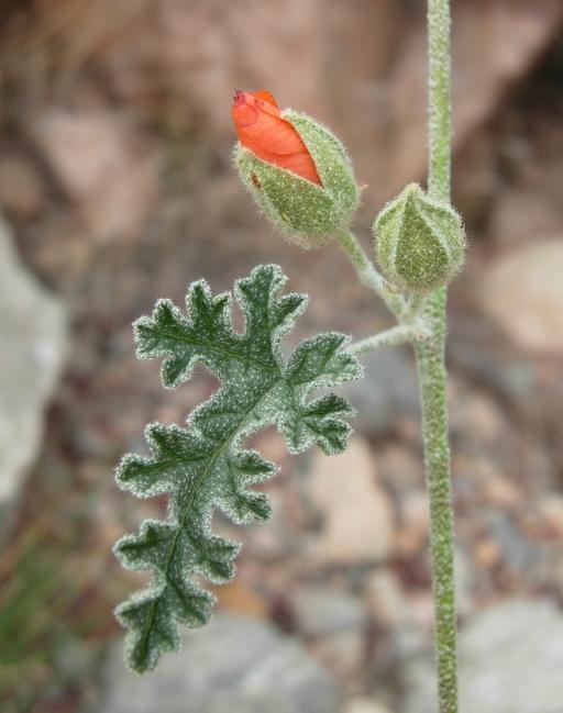 Sphaeralcea rusbyi var. eremicola