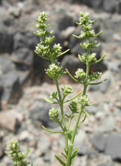 Scopulophila rixfordii