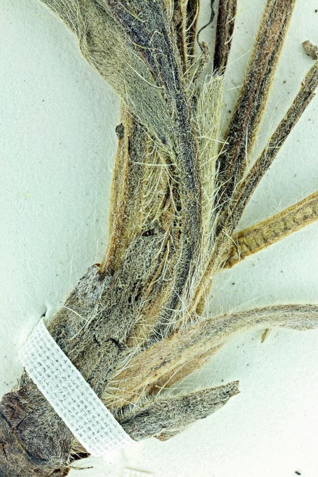Cryptantha crymophila
