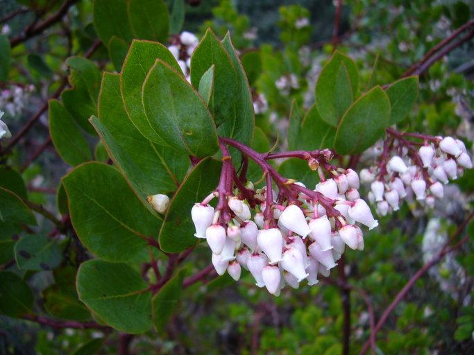 Arctostaphylos rainbowensis