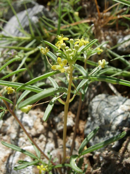 Cleomella parviflora
