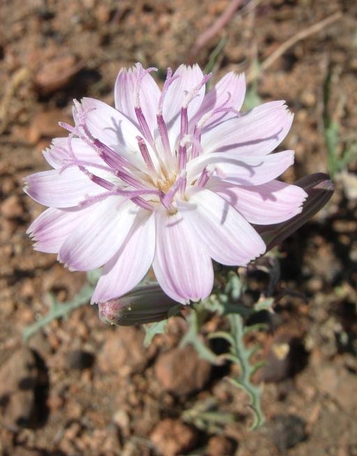 Stephanomeria parryi