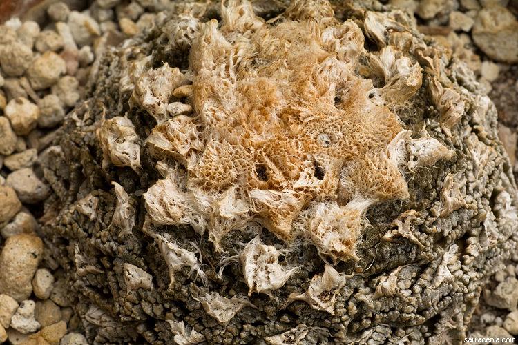 Ariocarpus fissuratus image