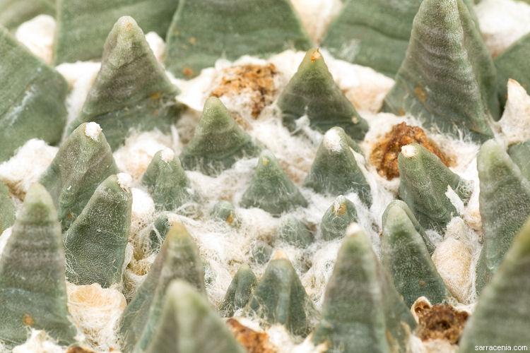 Ariocarpus retusus image