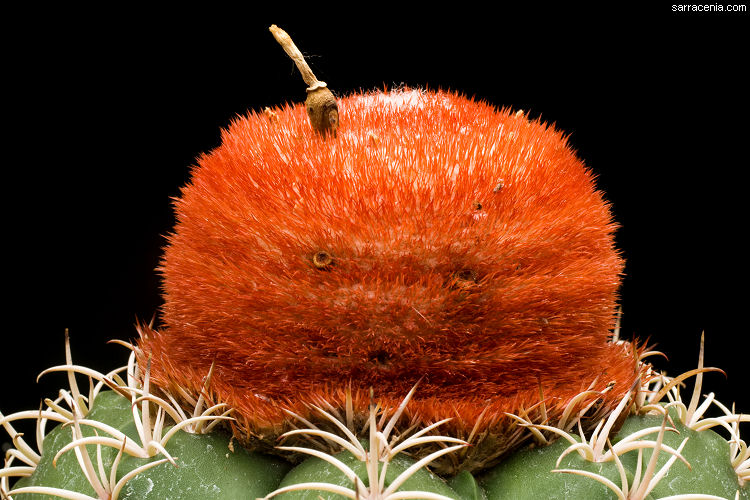 Melocactus matanzanus image