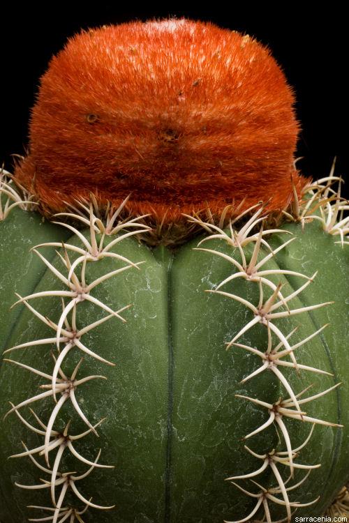 Melocactus image