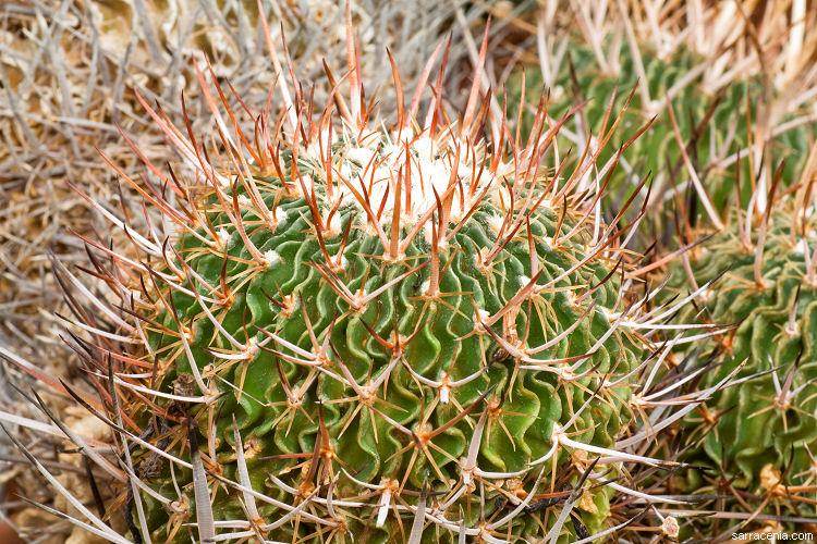 Echinofossulocactus multicostatus image
