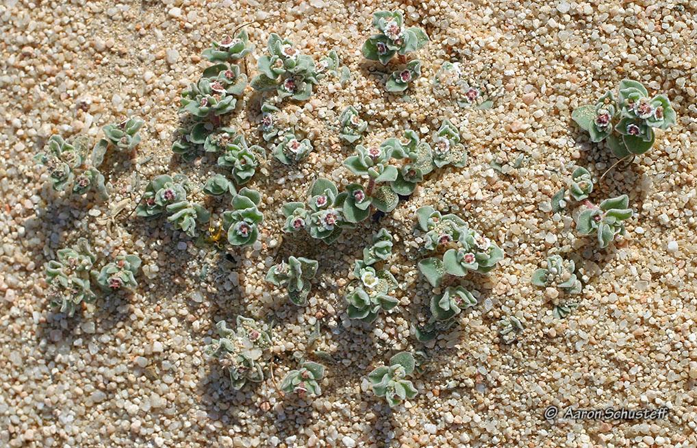 Euphorbia vallis-mortae