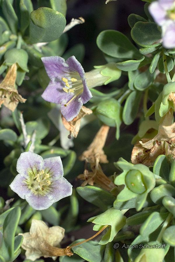 Lycium pallidum var. oligospermum