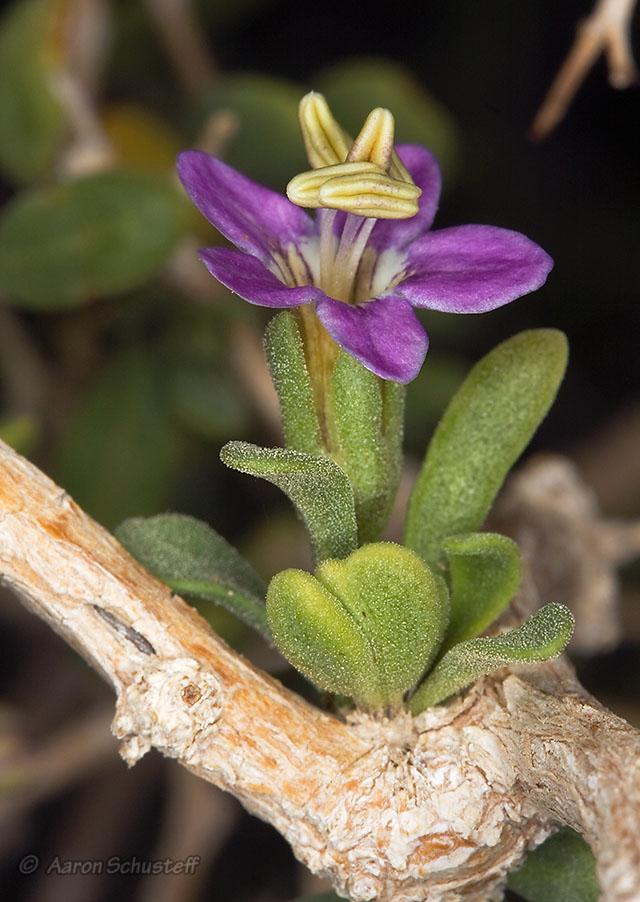 Lycium brevipes var. brevipes