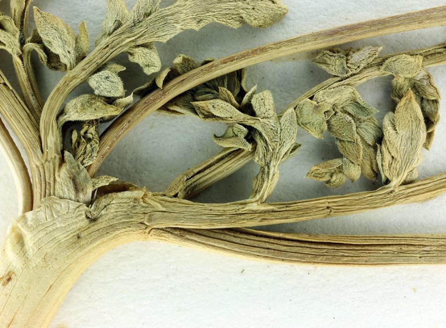 Lomatium ciliolatum