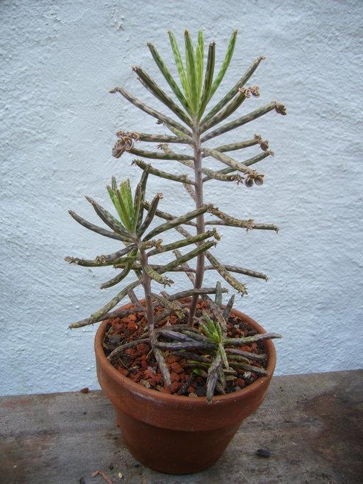 CalPhotos: Kalanchoe tubiflora