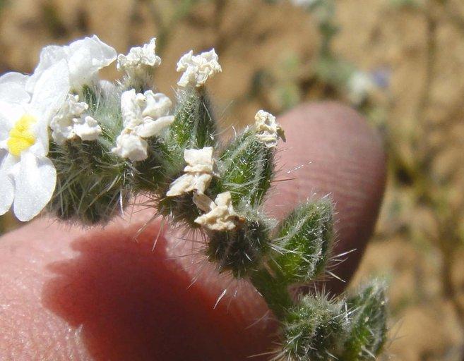 Cryptantha mohavensis