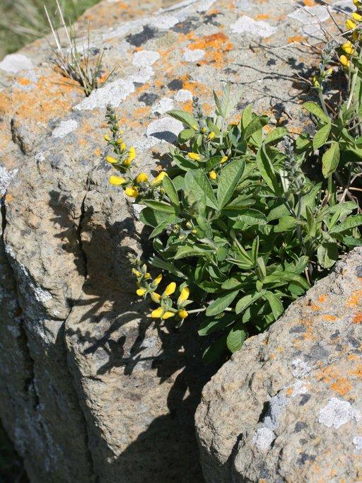 Thermopsis californica var. californica