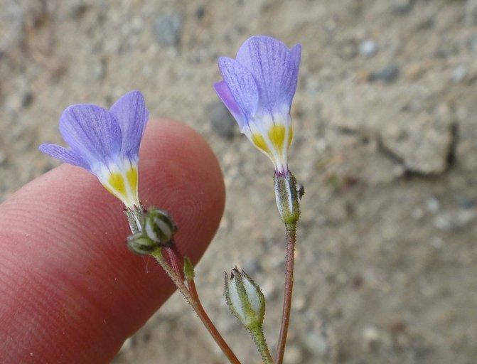 Gilia latiflora ssp. latiflora