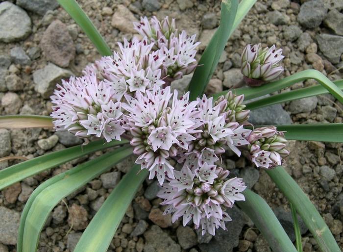 Allium obtusum var. conspicuum