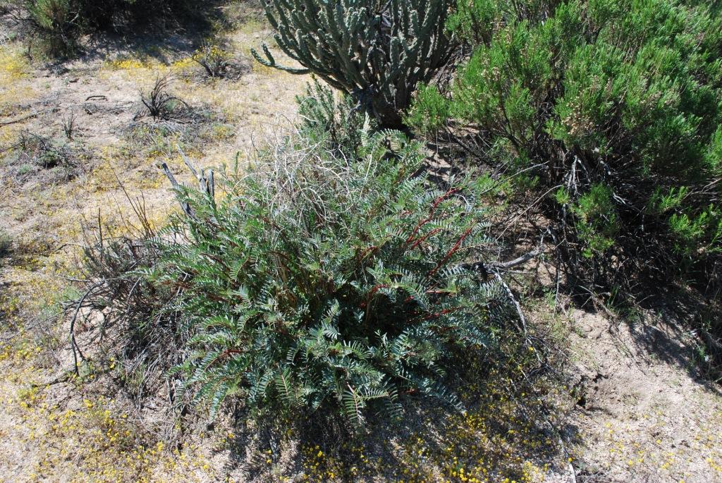 Astragalus douglasii var. perstrictus