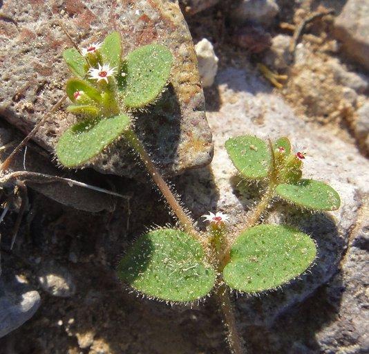 Euphorbia setiloba