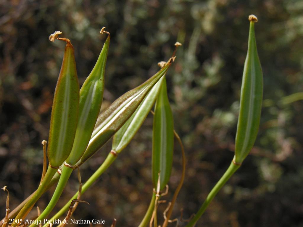 Calochortus clavatus var. gracilis