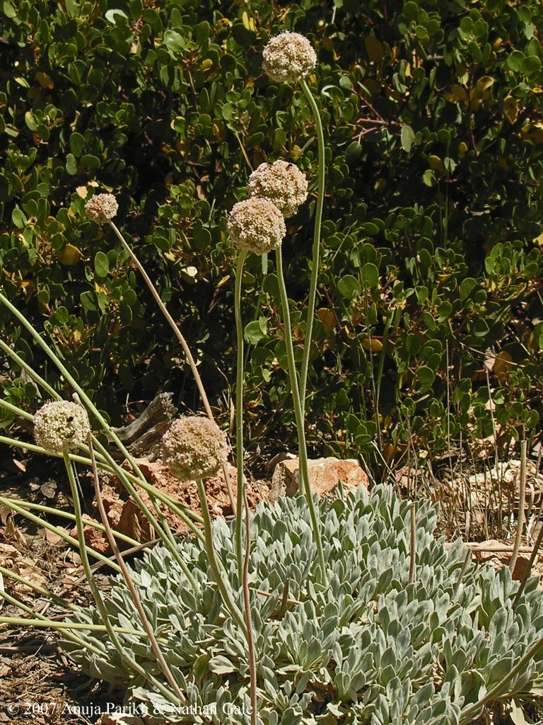 Eriogonum callistum