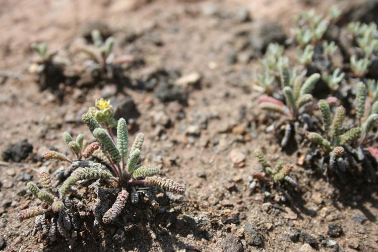 Ivesia paniculata
