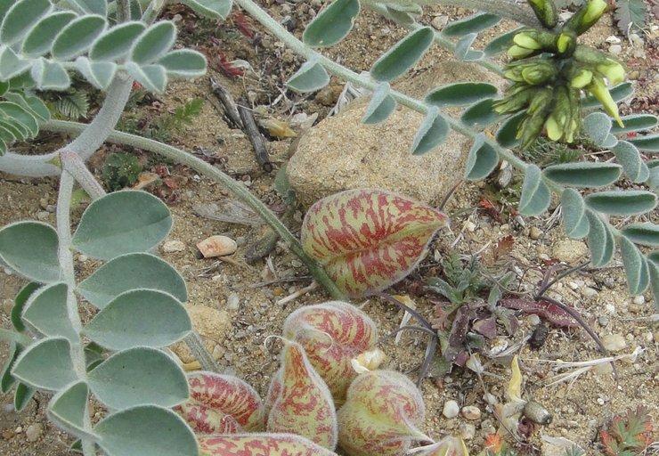Astragalus lentiginosus var. nigricalycis