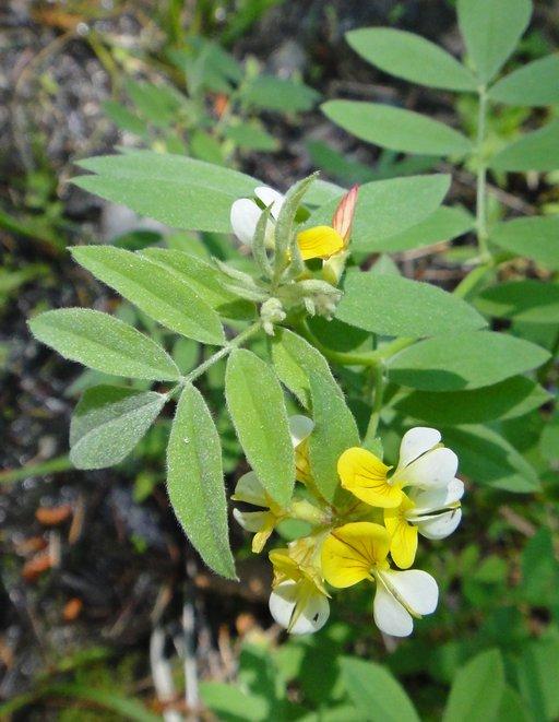 Hosackia oblongifolia var. oblongifolia