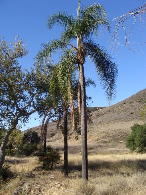 Calphotos Syagrus Romanzoffiana Queen Palm