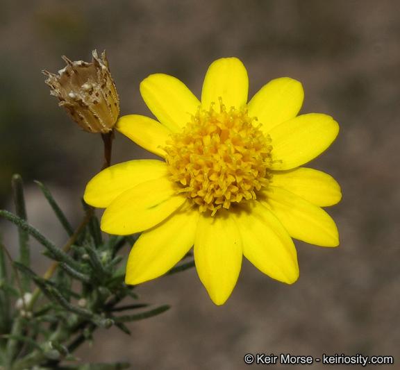 Thymophylla pentachaeta
